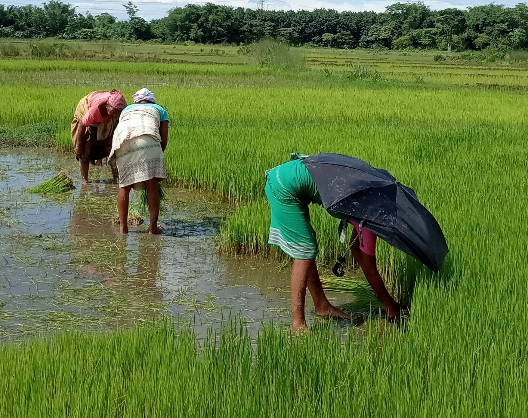 paddy, rice, cultivation, Covid-19