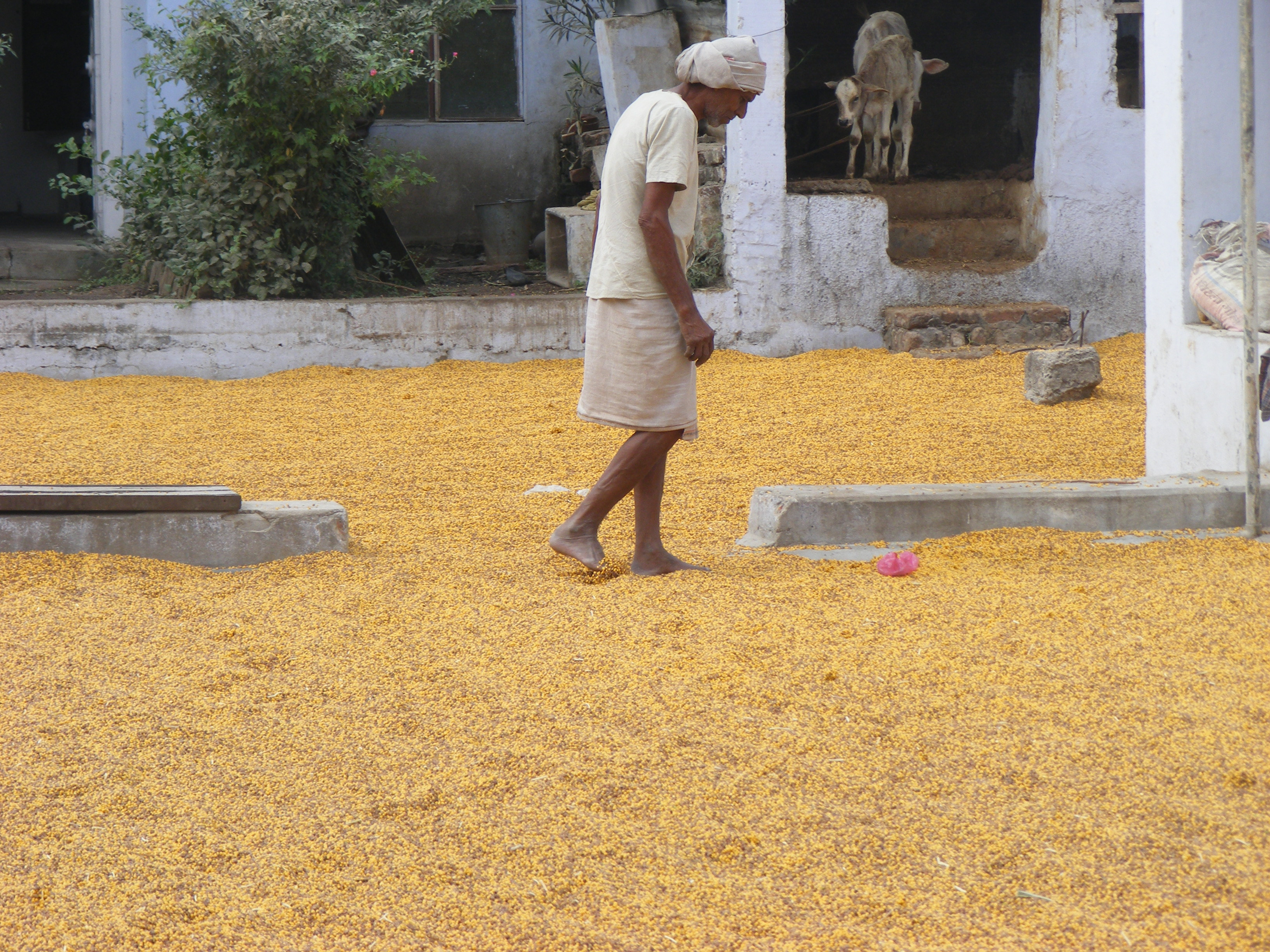 Tuar (Pigeon Pea) being dried out