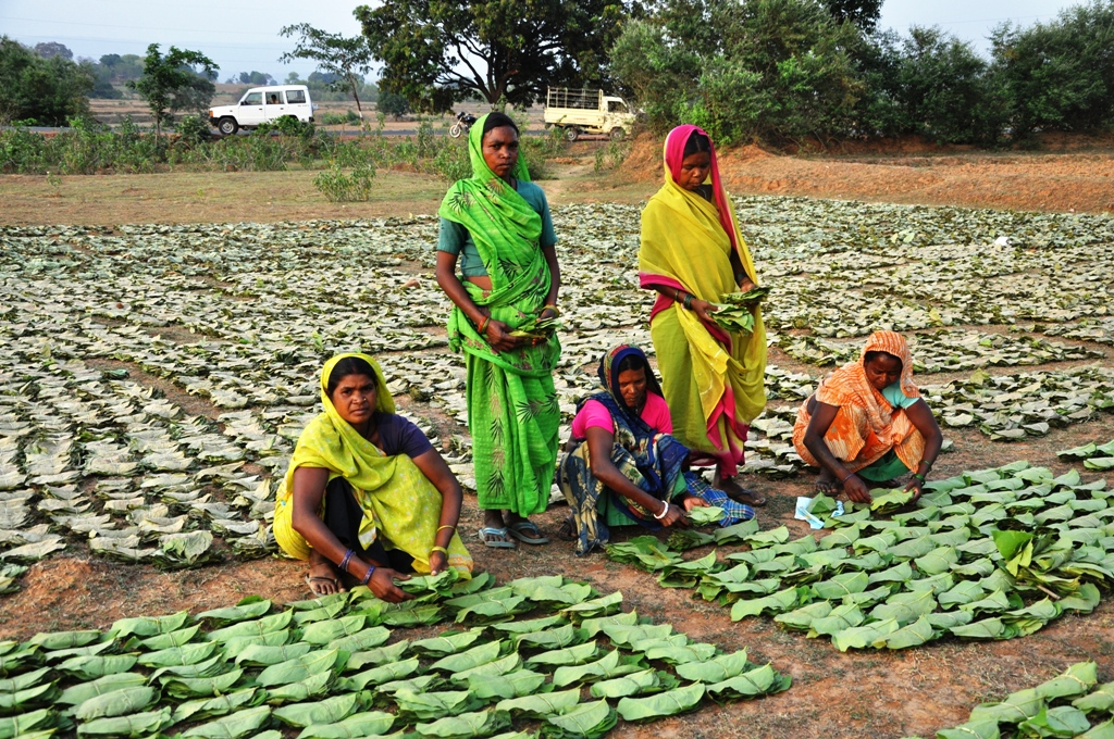 Collectors with stacks/bundles of Tendu leaves