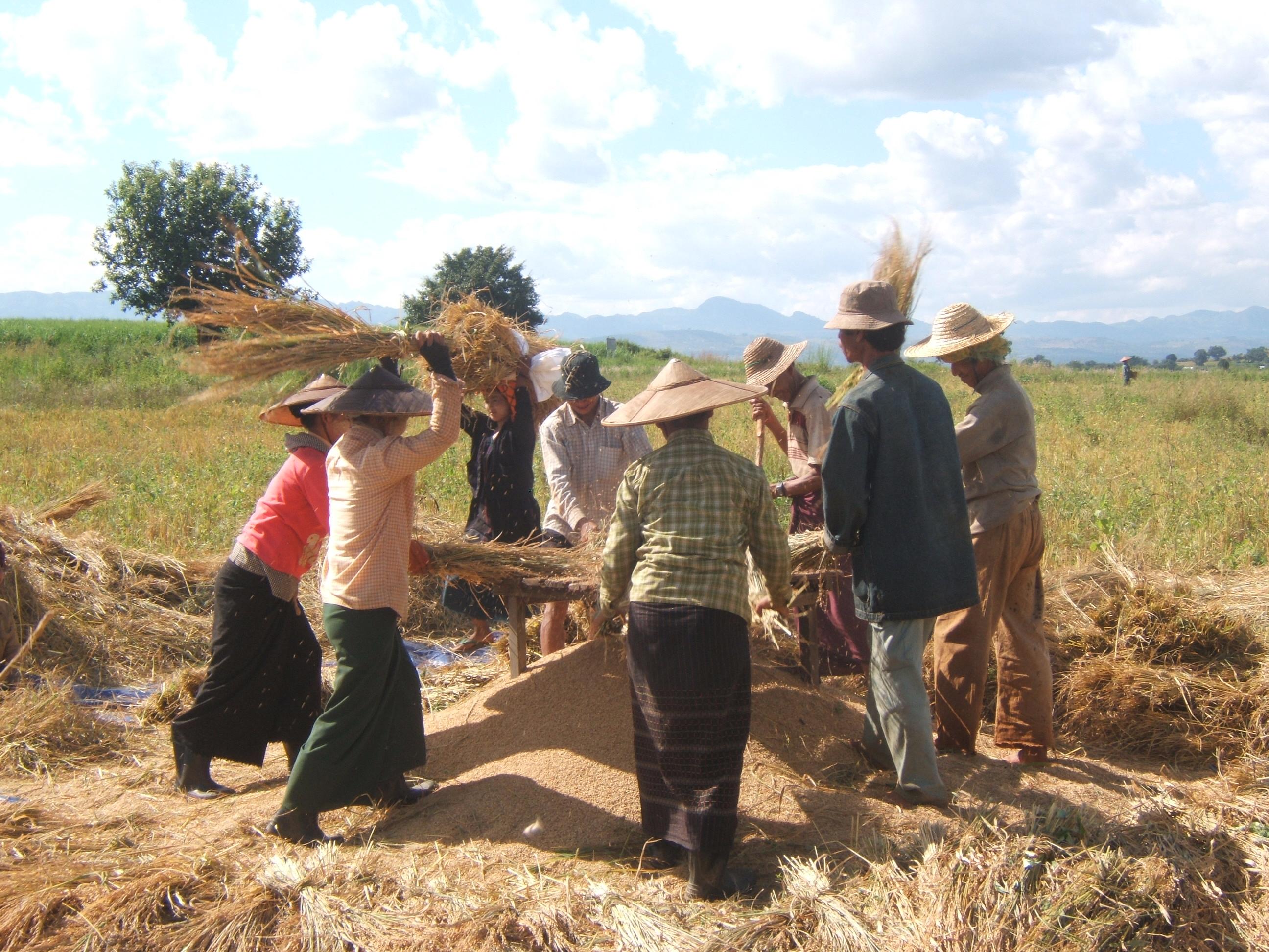Upland Rice Threshing